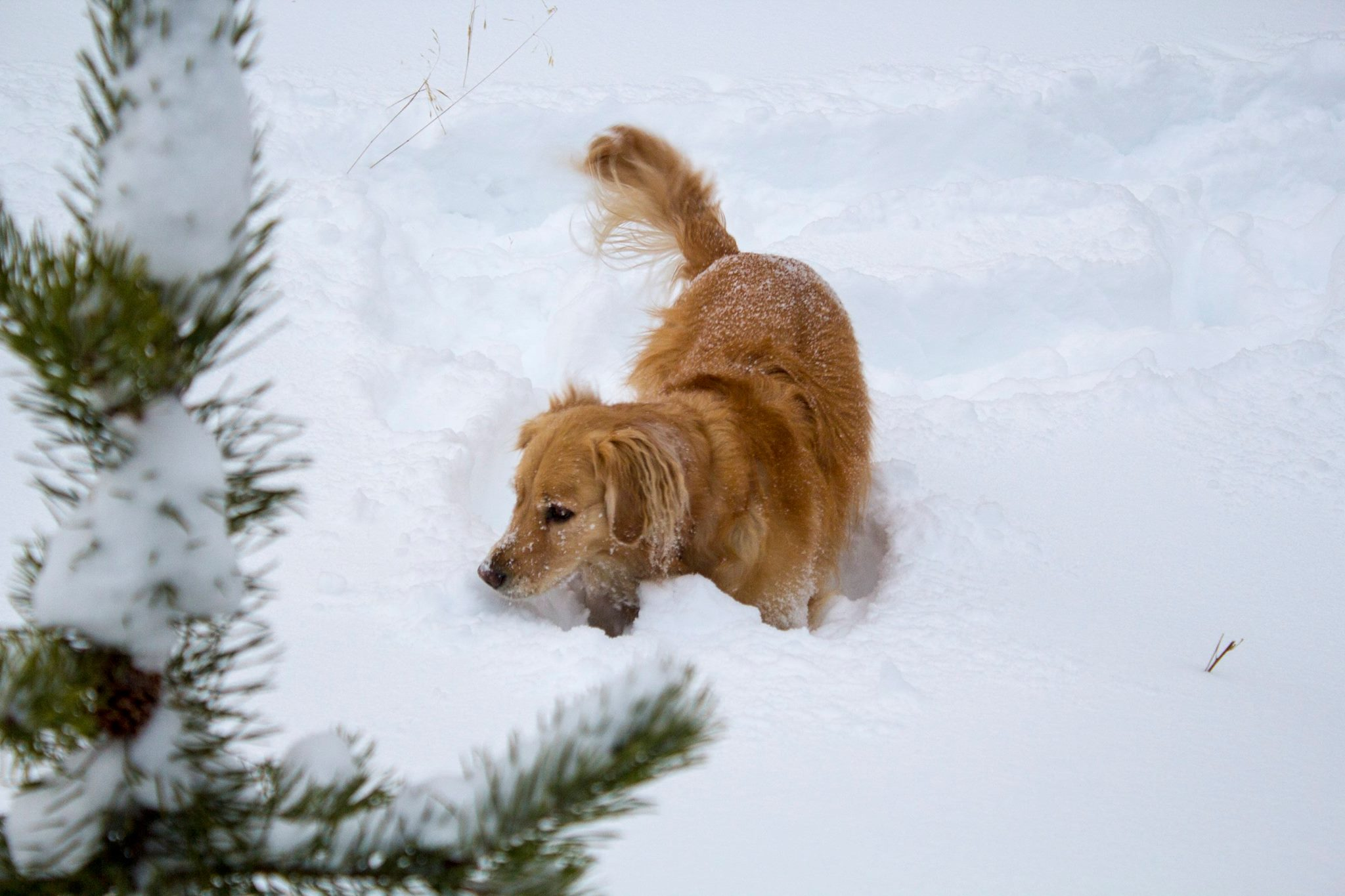 Dog in Fresh snow in Breckenridge